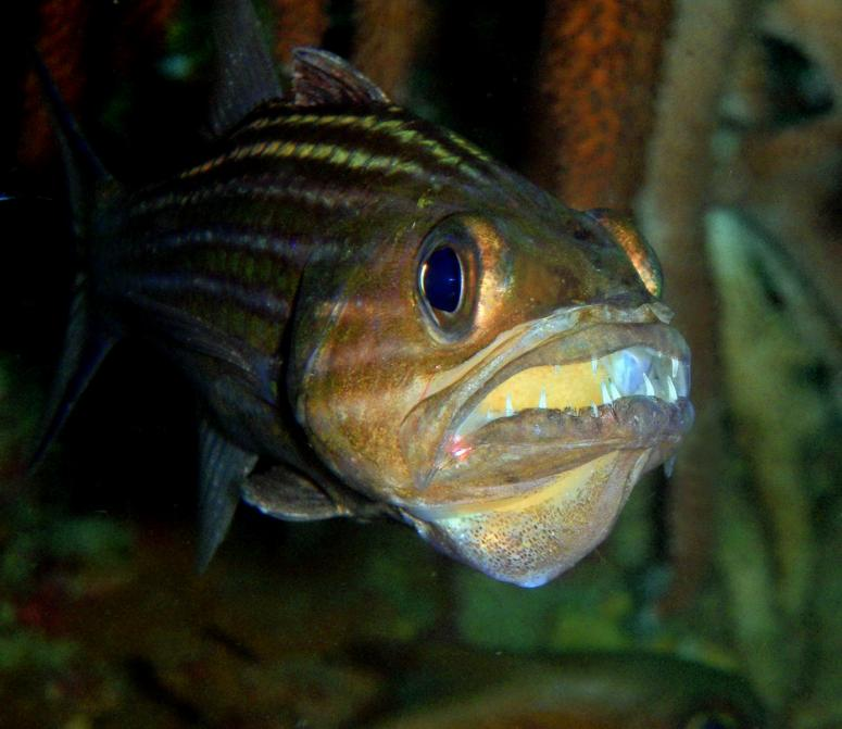 Tiger Cardinalfish with Eggs inside the mouth
