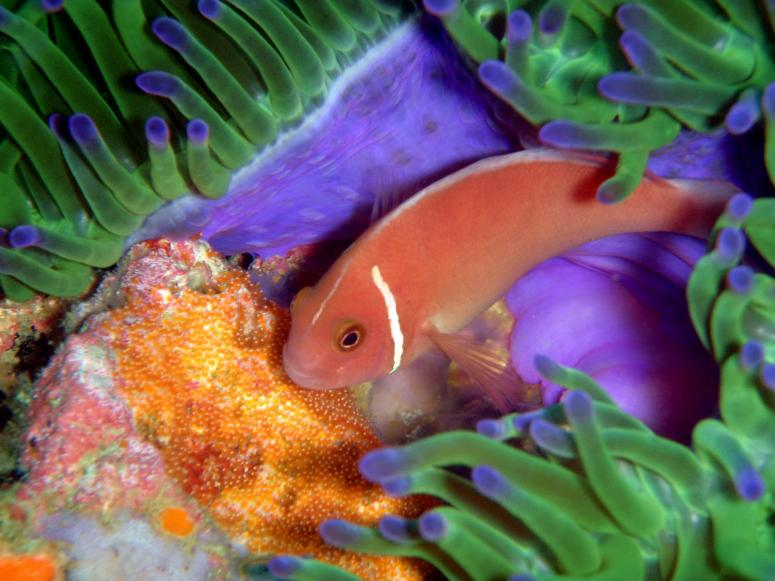 Pink Anemonefish Guarding its Eggs