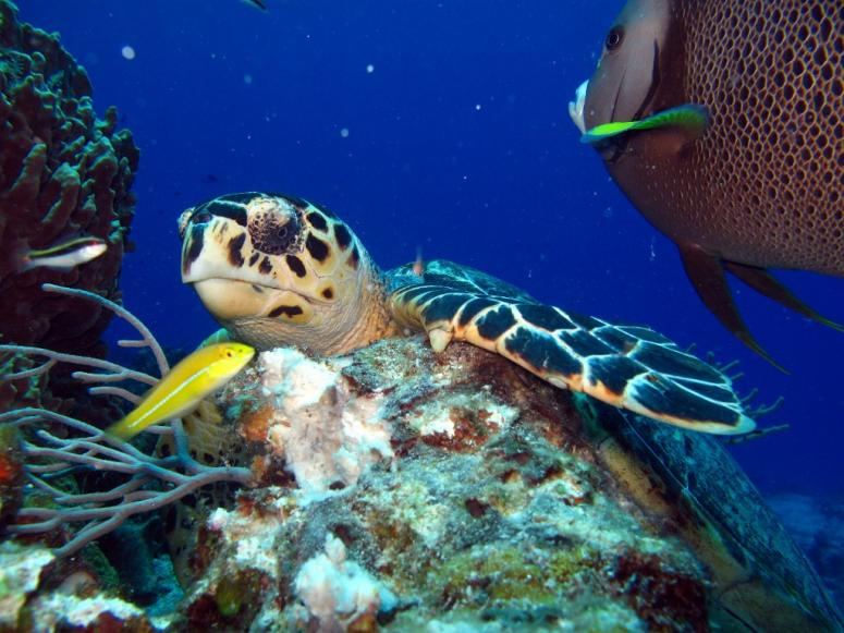 Turtle in Paraiso Reef