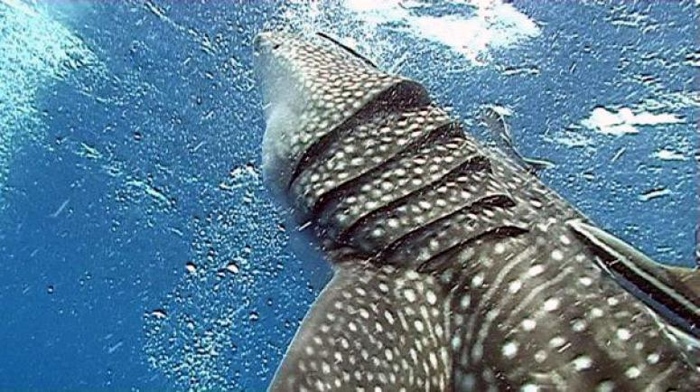 whalesharks at sail rock