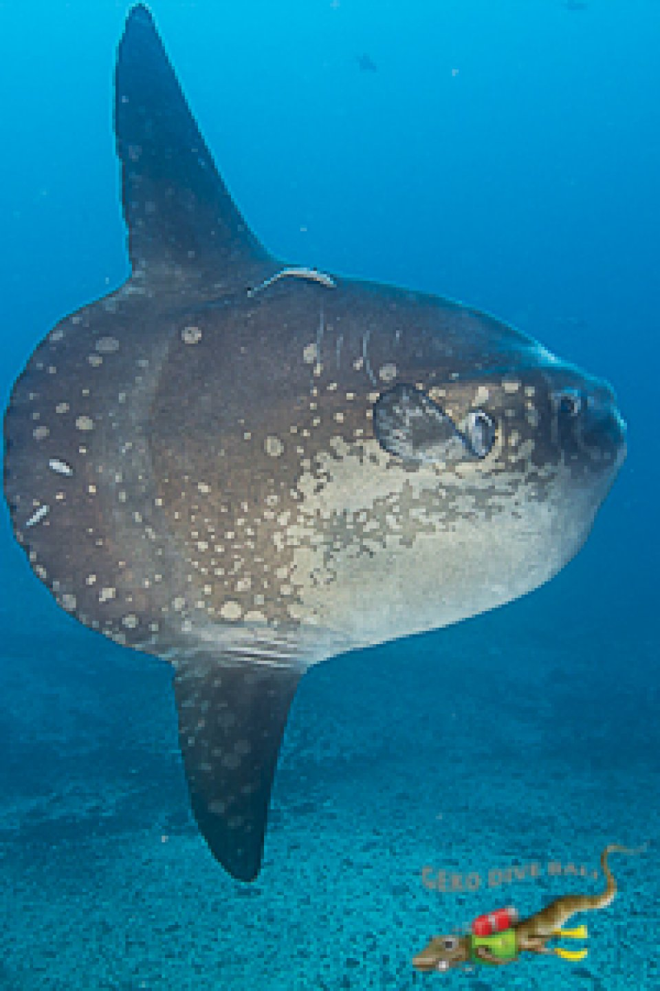 Mola Mola Oceanic Sunfish at Gili Tepekong