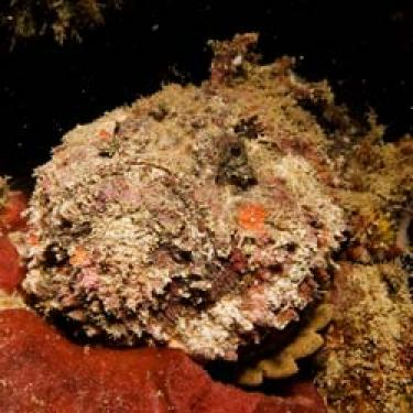 The stonefish is mimeticzed with the environment