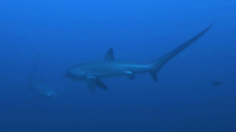 Thresher Shark (by Evolution Divecenter)
