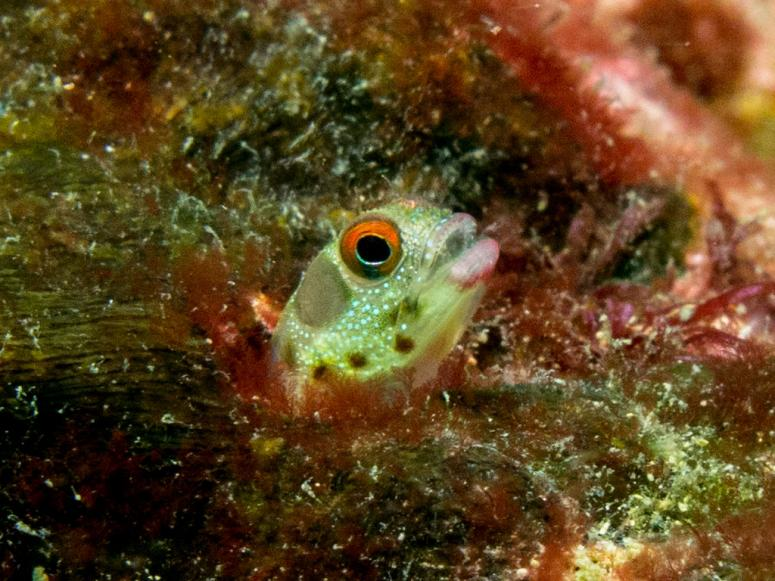 Red Eyed Barnacle Blenny