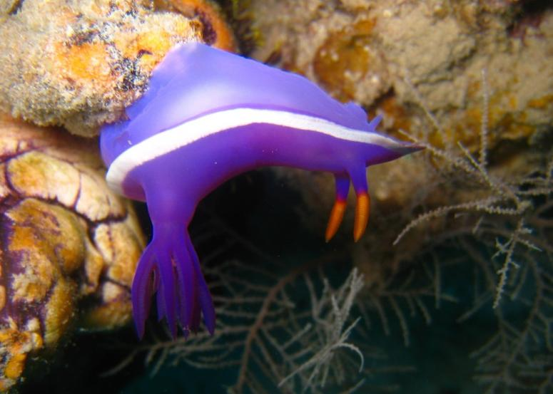 purple-gilled hypselodoris