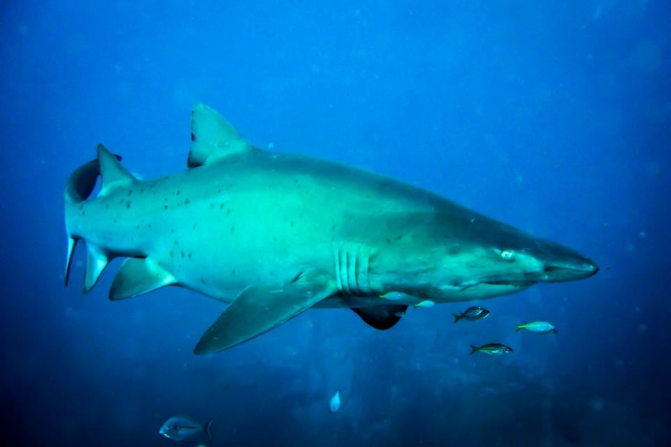 Oceanic nurse shark